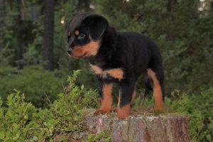 Puppy Dog Rottweiler